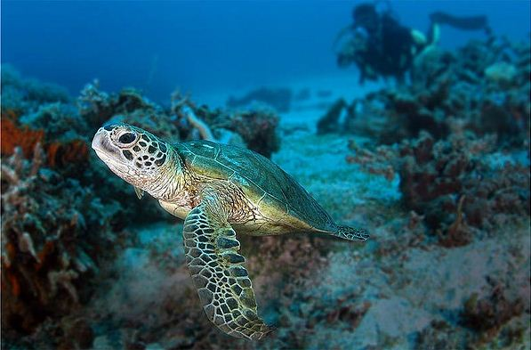 Penyu Hijau Biota bawah laut kepulauan derawan